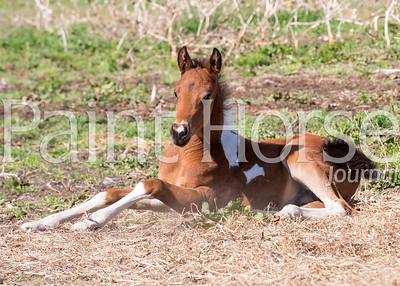 Harnish Paint Horses